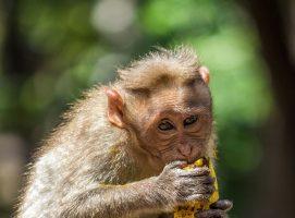 Monkey King and Mangoes