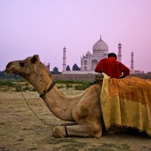 Camel in front of the Taj Mahal