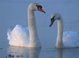 The Wounded Swan