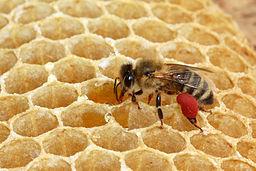 Biene_mit_rotem_Pollen_41a