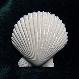 Fig 3 - Corrugated shell Pecten