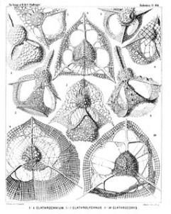 Fig 10 - Radiolaria
