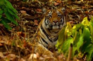 Hans Dalal Tiger