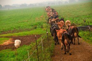 Organic_cattle_in_Ohio,_United_States