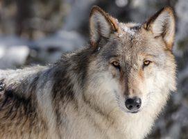 Wolves, Symbolism
